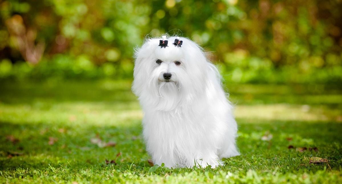 Порода собак мальтезе