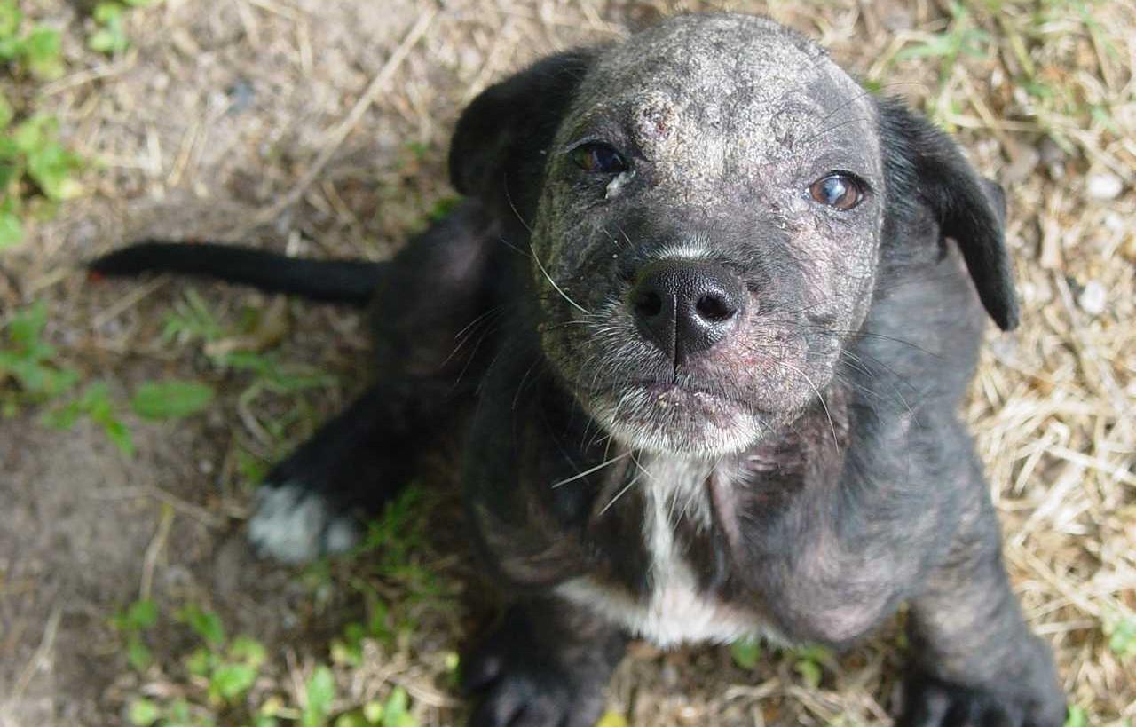 Профилактика демодекоза у собак