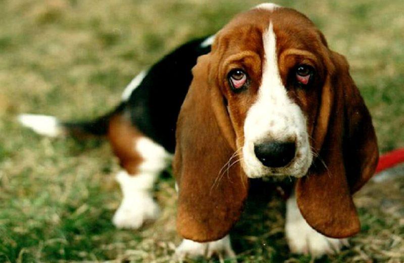 Покраснение глаз у собаки