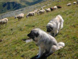 Предназначение кавказских овчарок