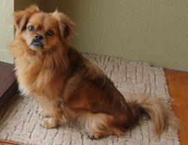 Уход и содержание собак породы пекинес