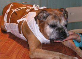 Симптомы бруцеллеза у собак
