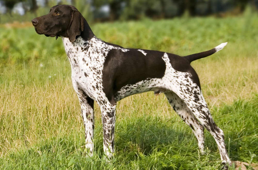 Собака породы Курцхаар
