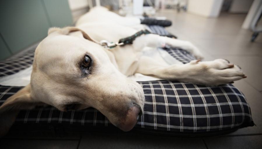 Течение столбняка у собак
