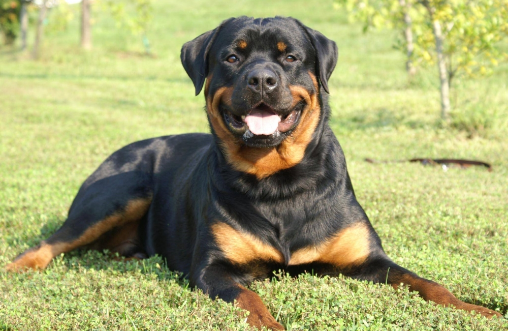 Порода собак ротвейлер