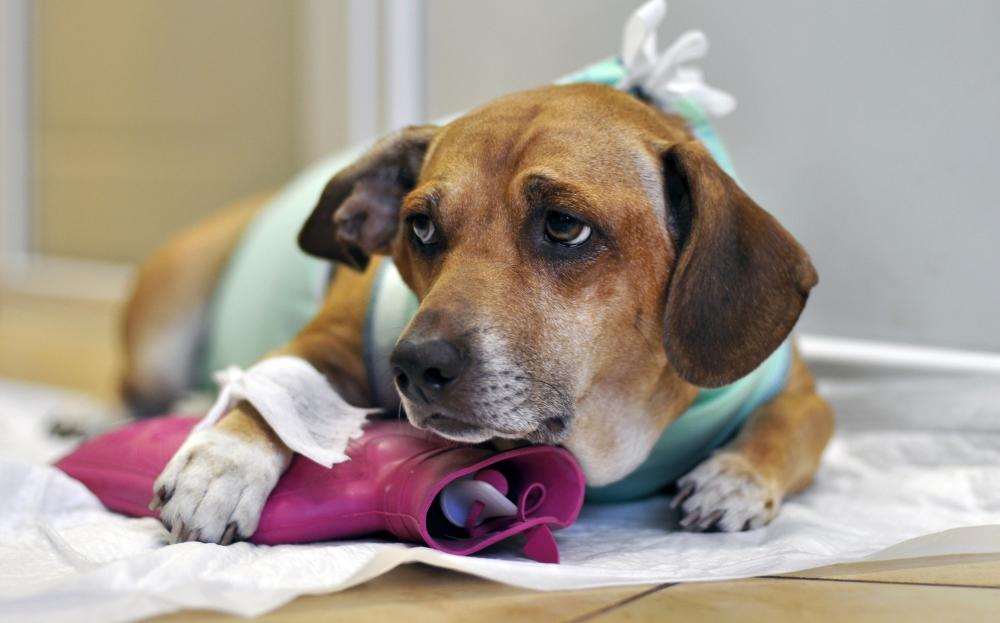 В каких случаях собаке необходимо обезболивающее