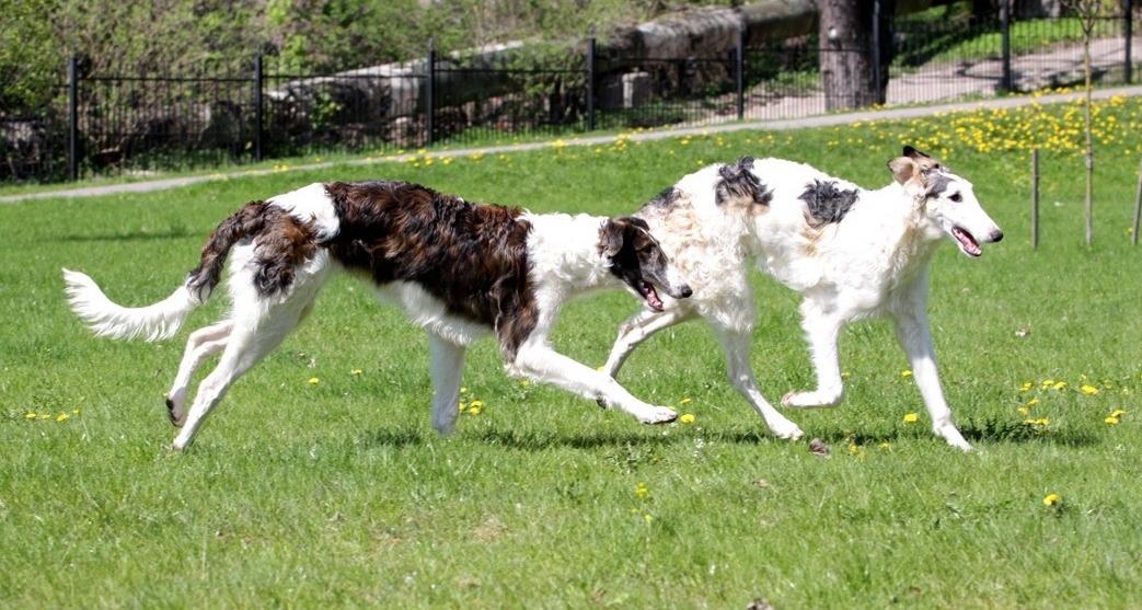 Русская борзая фото собаки