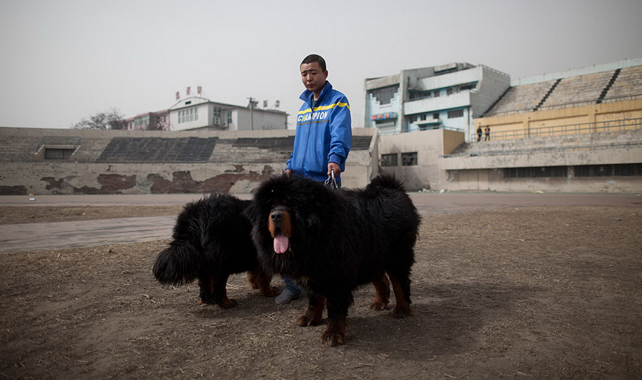 Тибетский мастиф и его дрессировка