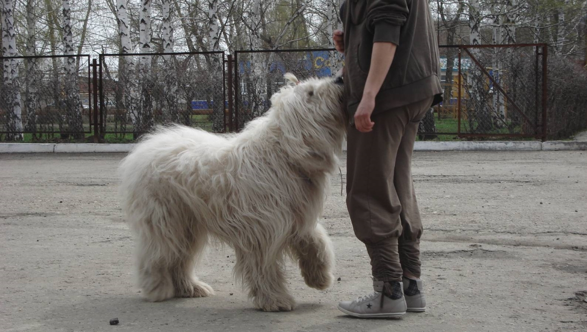 Дрессировка южнорусской овчарки