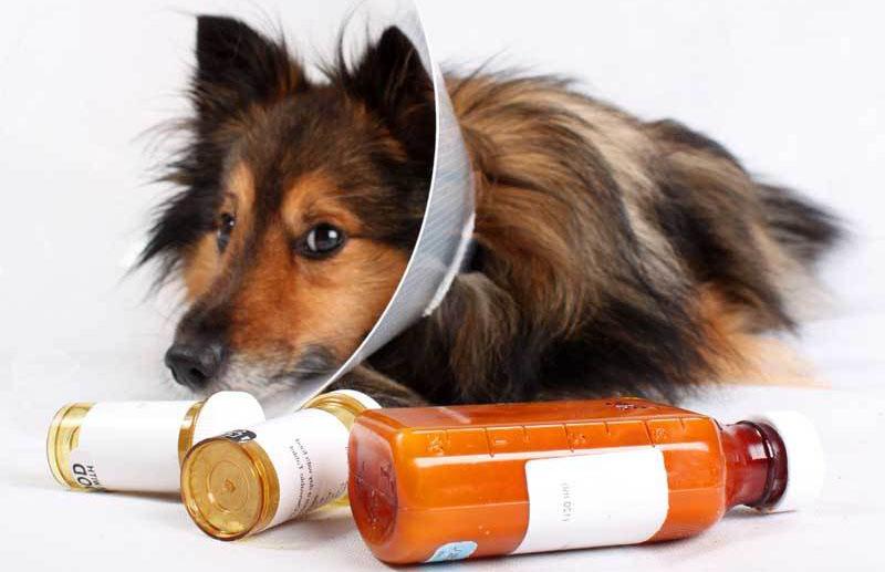 Лечение асцита у собак