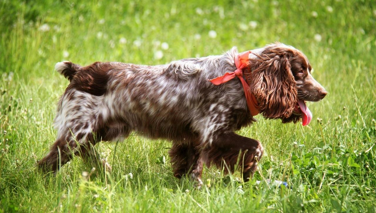 Порода собак русский спаниель