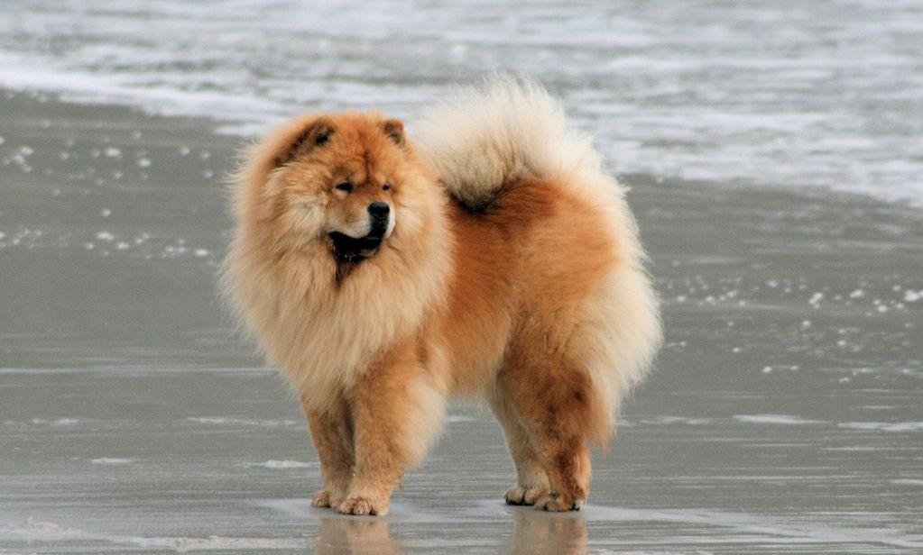 Собака породы чау-чау