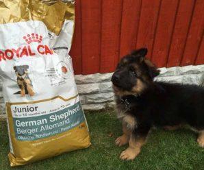 Как кормить немецкую овчарку: полезные и запрещенные продукты