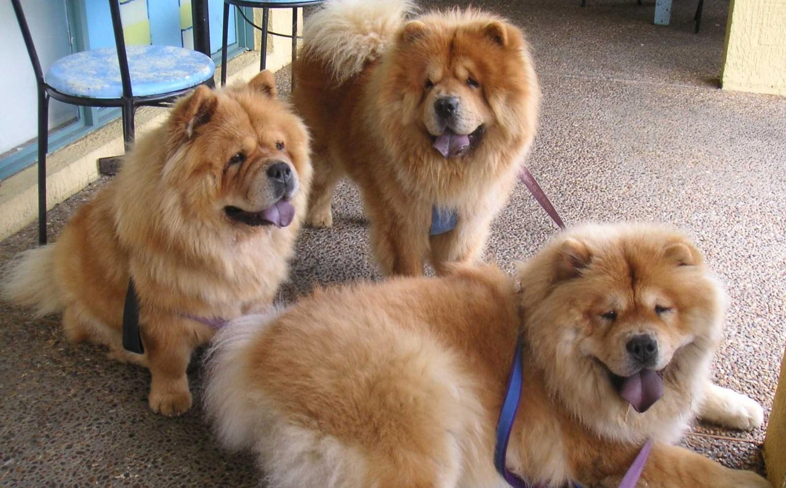 Воспитание и обучение собак породы чау-чау