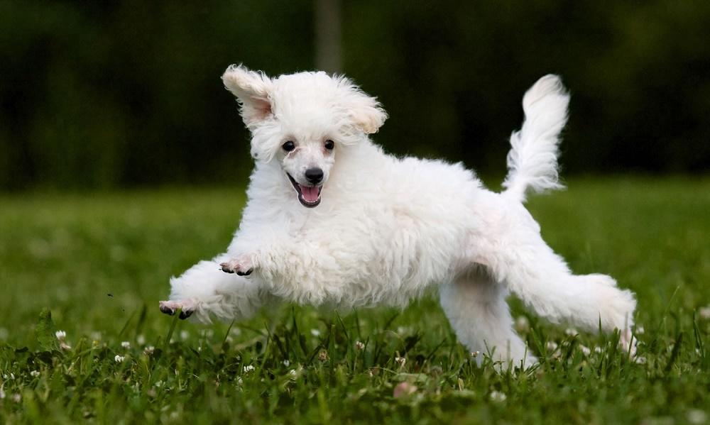 Характер собак породы пудель