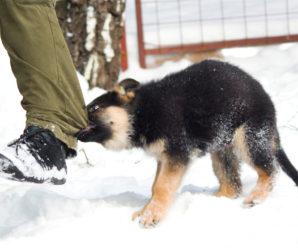 Почему щенок кусает хозяев за ноги и как его от этого отучить