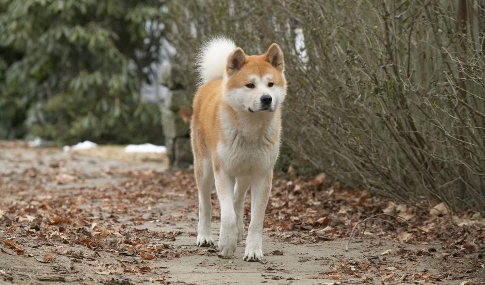 Настоящая история собаки из фильма Хатико