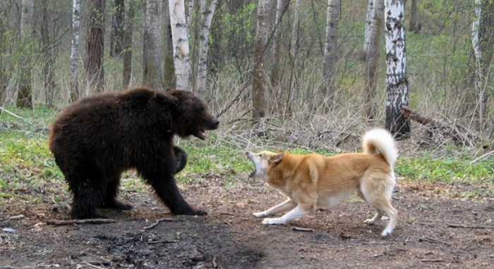 Охота с западно-сибирской лайкой