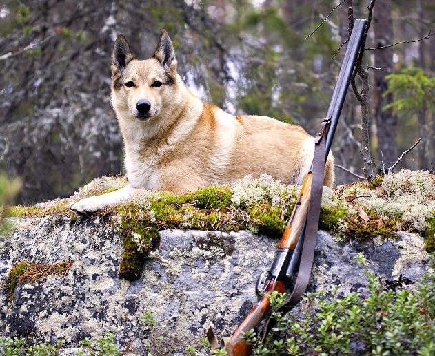 Имя для охотничьей лайки