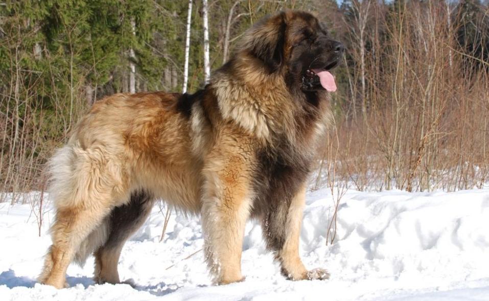 Порода собак леонбергер