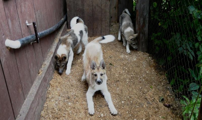 Питание щенка лайки в 4-5 месяцев