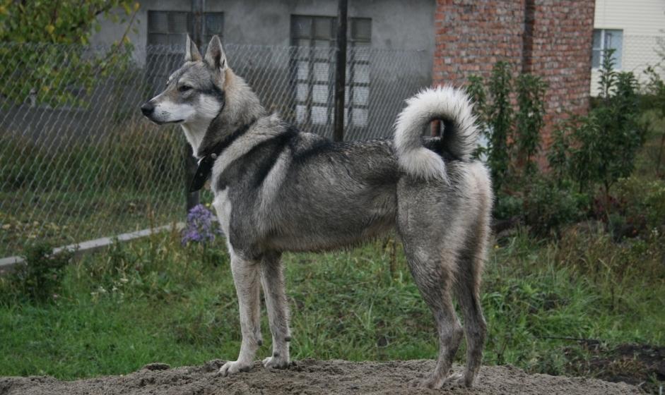 Порода собак западно-сибирская лайка