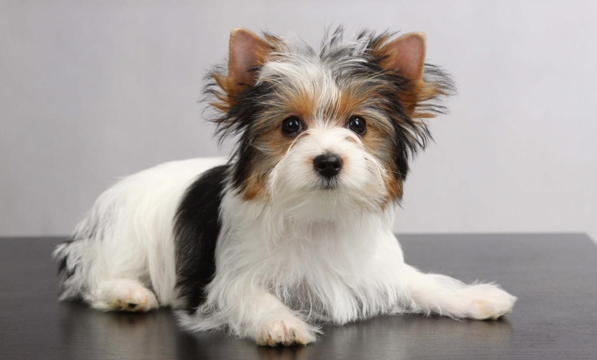 Порода собак бивер йоркширский терьер