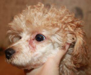 Что делать, если у собаки текут глаза: причины, симптомы и доступные способы лечения
