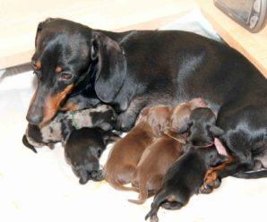 Беременность таксы: как правильно ухаживать и кормить собаку до и после