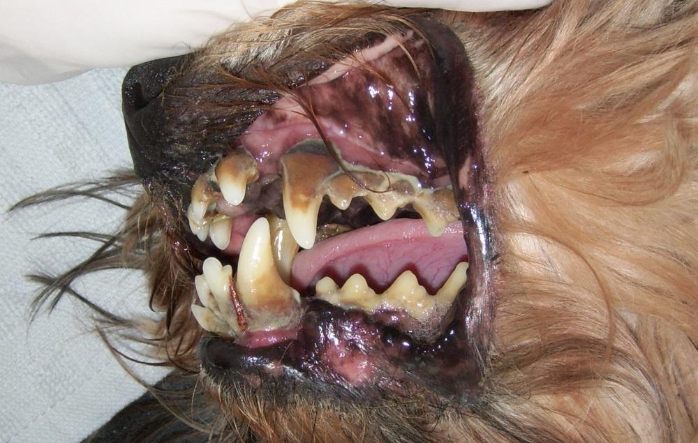 Пародонтоз у собак лечение народными средствами thumbnail