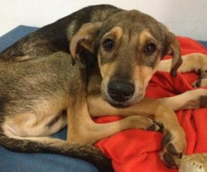 Парагрипп у собак: пути заражения, симптомы, диагностика и лечение
