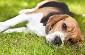 Боррелиоз у собак лечение