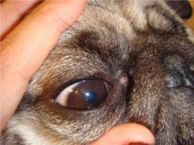 Глаз мопса
