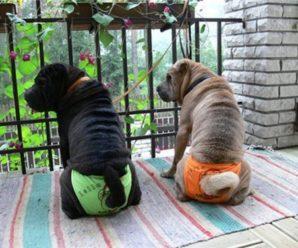 Течка у собак: стадии, продолжительность и возможные осложнения