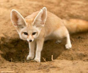Домашняя лиса Фенек: можно ли содержать лисичку в квартире