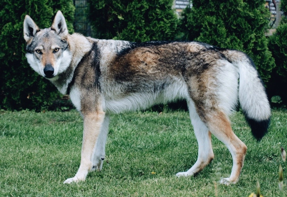 Влчак