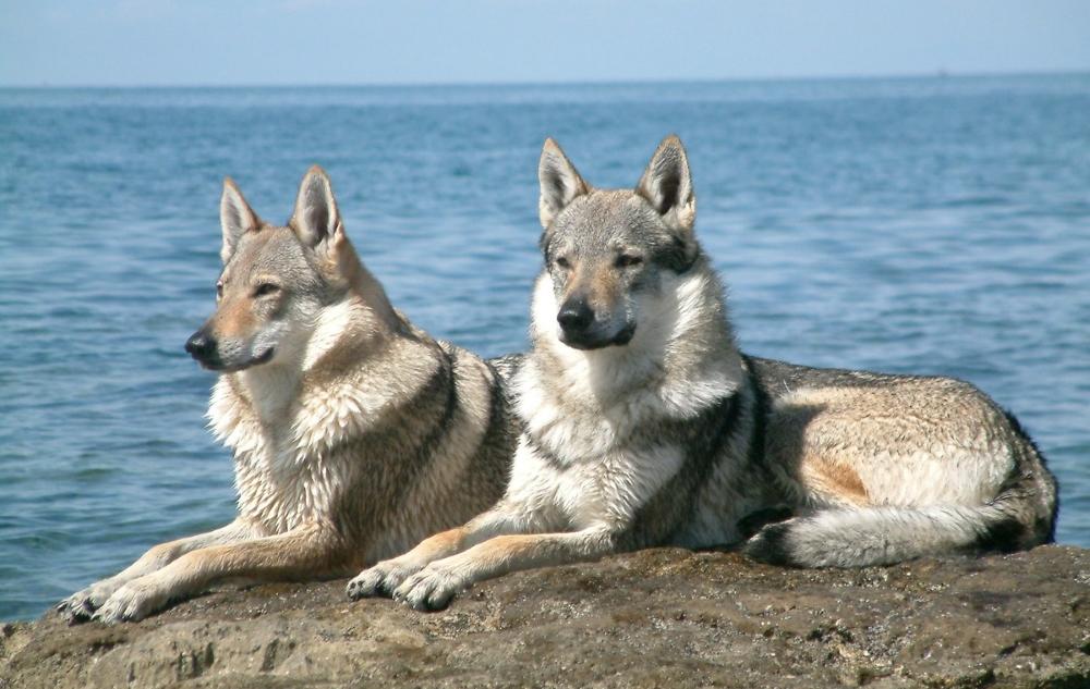 Влчаки