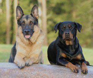 Популярные немецкие породы собак: описание и краткая характеристика