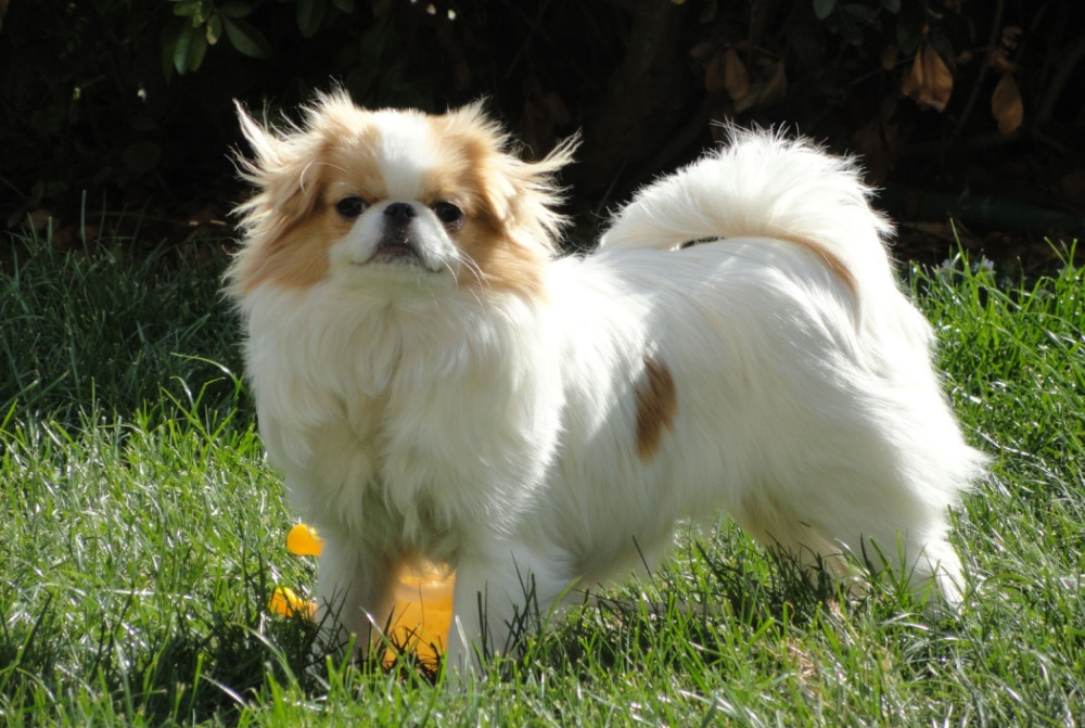 Хин порода собак