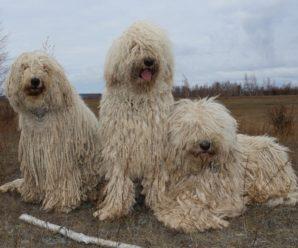 Венгерская овчарка комондор – умная и необычная собака