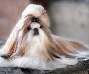 Ши-тцу — миниатюрная собака с древними корнями и забавной мордой