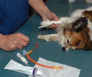 Анаплазмоз у собак: признаки, симптомы, диагностика и лечение