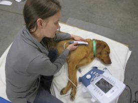 Собаке делают физиотерапию