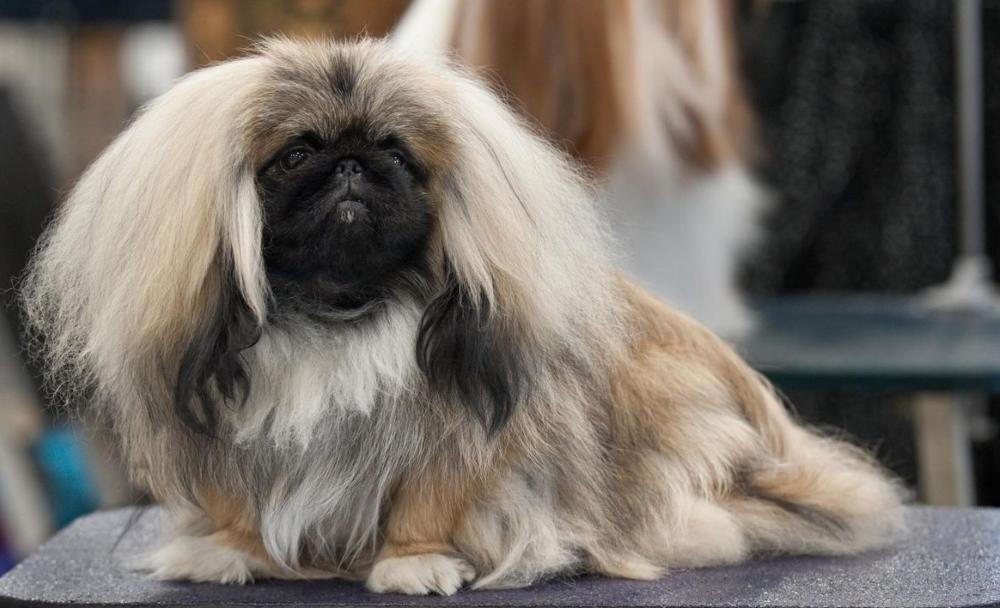 Порода белой пушистой собаки
