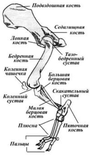 Как выглядит скелет собаки