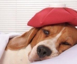 Пищевое отравление у собак: чем, помочь питомцу в домашних условиях