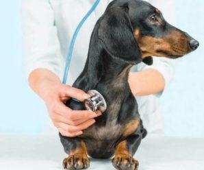 Что делать, если собака постоянно кашляет: возможные заболевания, диагностика и лечение