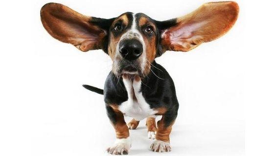 Чем почистить уши собаке в домашних условиях