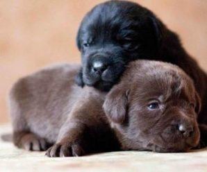 Как определить пол щенка и не ошибиться с выбором: советы специалистов